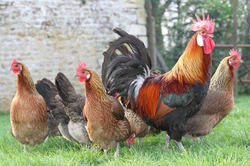 Poules et coq page 25 - Image de poule ...