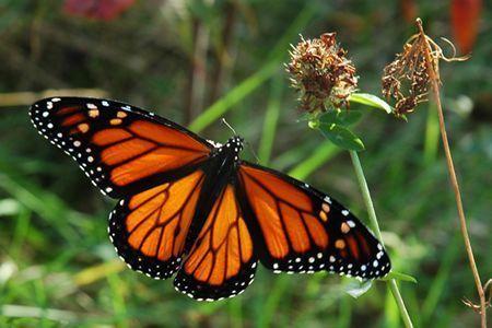 superbes papillons! Papillon-11656586565547878989899
